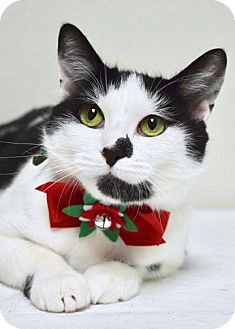 Domestic Shorthair Cat for adoption in Dublin, California - Tina
