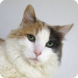 Domestic Longhair Cat for adoption in Norwalk, Connecticut - Peek-a-boo
