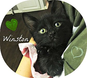 Domestic Shorthair Cat for adoption in Lancaster, California - Winston