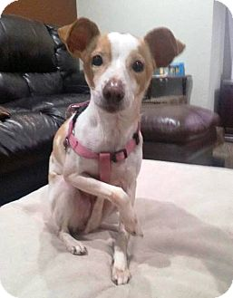 Jack Russell Terrier/Chihuahua Mix Dog for adoption in Prospect, Connecticut - Champy