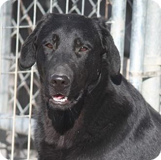 Labrador Retriever Mix Dog for adoption in Jewett City, Connecticut - Thriller