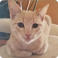 Adopt A Pet :: Leonard 'Hoops' McWhiskers - Glendale, AZ