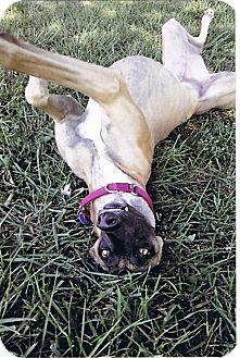 Greyhound Dog for adoption in Bethalto, Illinois - Mega Oceana