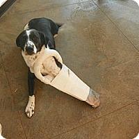 Adopt A Pet :: Louie - Roosevelt, UT