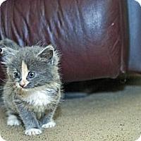 Adopt A Pet :: Astrid - Shavertown, PA