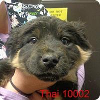 Adopt A Pet :: Thai - Greencastle, NC