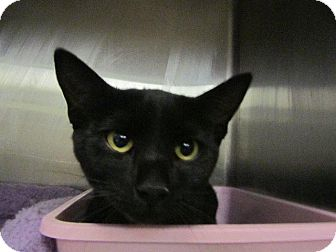 Domestic Shorthair Cat for adoption in Grand Junction, Colorado - Agatha