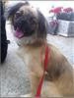 Tibetan Spaniel/Pekingese Mix Dog for adoption in Freeport, New York - Timmy