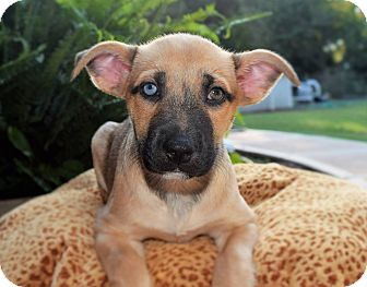Pit Bull Terrier/Husky Mix Puppy for adoption in Charlotte, North Carolina - Phoenix (City Slickers)