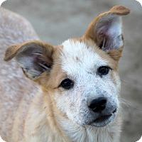 Australian Cattle Dog/Australian Shepherd Mix Puppy for adoption in Liberty Center, Ohio - Vella