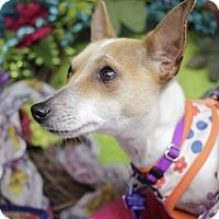 Adopt A Pet :: Swiss - San Antonio, TX