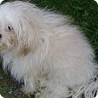 Adopt A Pet :: Prada - Ridgefield, CT