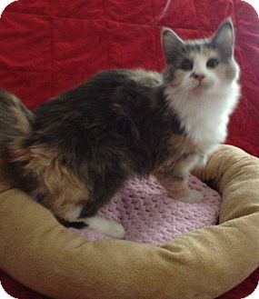 Domestic Mediumhair Kitten for adoption in Simpsonville, South Carolina - Tiffany