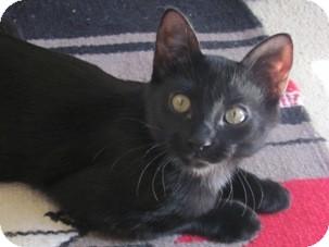 Domestic Shorthair Kitten for adoption in Diamond Bar, California - ANGELUS