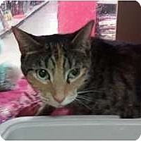 Calico Cat for adoption in Fort Lauderdale, Florida - Jazzy Jo