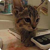 Adopt A Pet :: Goldie - Phoenix, AZ