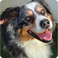 Adopt A Pet :: Beau - Mission Viejo, CA