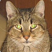 Domestic Shorthair Cat for adoption in Walden, New York - Quincy