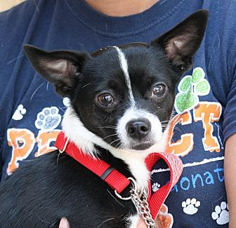Chihuahua Mix Dog for adoption in Palmdale, California - Panda