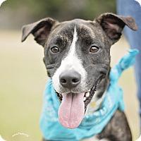 Adopt A Pet :: Trace - Kingwood, TX