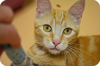 Domestic Shorthair Cat for adoption in Springfield, Illinois - Tigger