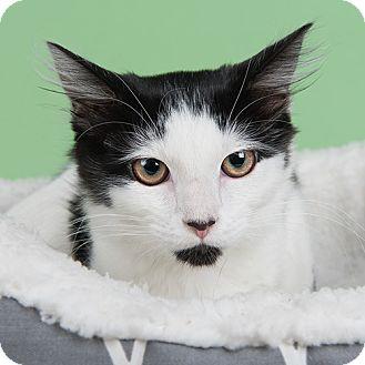 Domestic Longhair Kitten for adoption in Wilmington, Delaware - Juliet