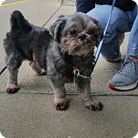 Shih Tzu Dog for adoption in Lexington, Kentucky - Lexi