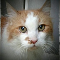 Domestic Longhair Cat for adoption in Pueblo West, Colorado - Rose