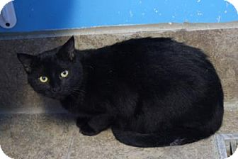 Domestic Shorthair Cat for adoption in West Des Moines, Iowa - Matter