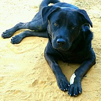 German Shepherd Dog/Labrador Retriever Mix Dog for adoption in Graceville, Florida - Queenie #2