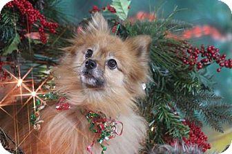 Pomeranian Dog for adoption in Dallas, Texas - Jakki