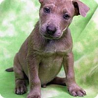 Adopt A Pet :: EGGY - Westminster, CO