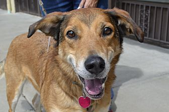 Beagle/Shepherd (Unknown Type) Mix Dog for adoption in Independence, Missouri - Boomer