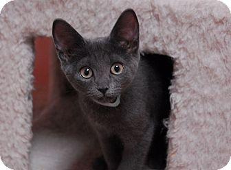 Domestic Shorthair Kitten for adoption in Lunenburg, Massachusetts - Fancy #3