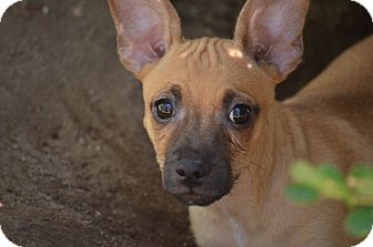 Chihuahua/Dachshund Mix Dog for adoption in Fresno, California - Wilfred