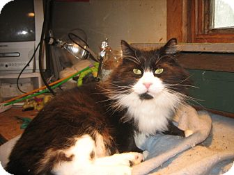 Domestic Longhair Cat for adoption in Portland, Maine - Jeff