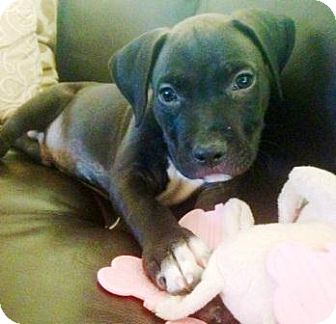 Pit Bull Terrier Mix Puppy for adoption in Gilbert, Arizona - Freddie