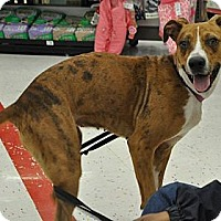 Catahoula Leopard Dog/Whippet Mix Dog for adoption in Germantown, Tennessee - Lulu