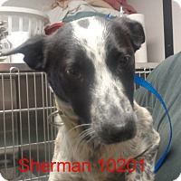 Adopt A Pet :: Sherman - Greencastle, NC