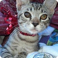 Adopt A Pet :: Purr - Scottsdale, AZ