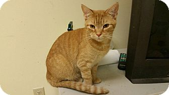 Domestic Shorthair Cat for adoption in Maryville, Tennessee - Sawyer