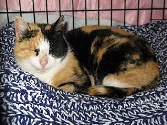 Calico Cat for adoption in Hamilton, New Jersey - PATTIE
