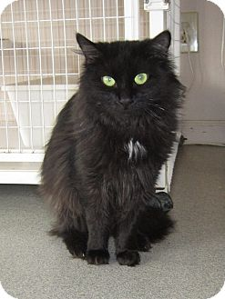 Domestic Longhair Cat for adoption in Toledo, Ohio - Beauty