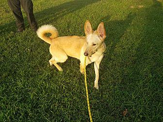 Rhodesian Ridgeback/Husky Mix Dog for adoption in Louisville, Kentucky - Aiden