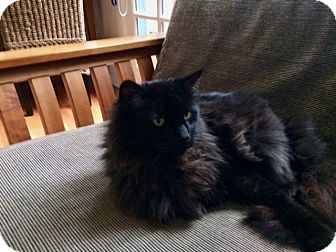 Domestic Longhair Cat for adoption in Novato, California - Coco (formerly known as Wyatt)