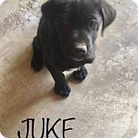 Adopt A Pet :: Juke - chicago, IL