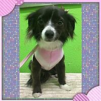 Adopt A Pet :: Chloe - South Gate, CA