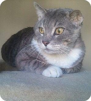 Domestic Shorthair Cat for adoption in Irvine, California - Gordie