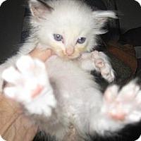 Adopt A Pet :: Darlin - Dallas, TX
