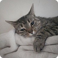 American Shorthair Cat for adoption in Alexandria, Kentucky - Jacquelin